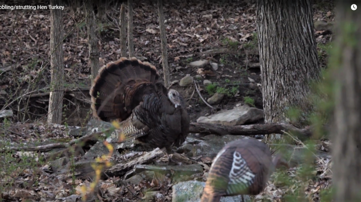 Video Footage of Gobbling and Strutting Wild Turkey HEN Preview Image