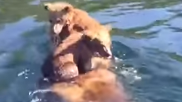 Watch Grizzly Cubs Ride Across River On Mom's Back  Preview Image