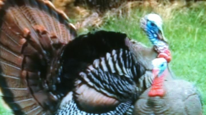 New Turkey Decoys from H.S. Strut ®  Preview Image