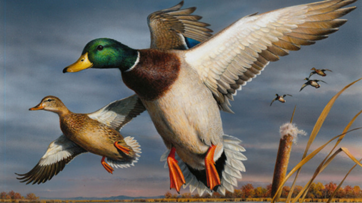 Bob Hautman Wins 2017 Federal Duck Stamp Contest Preview Image