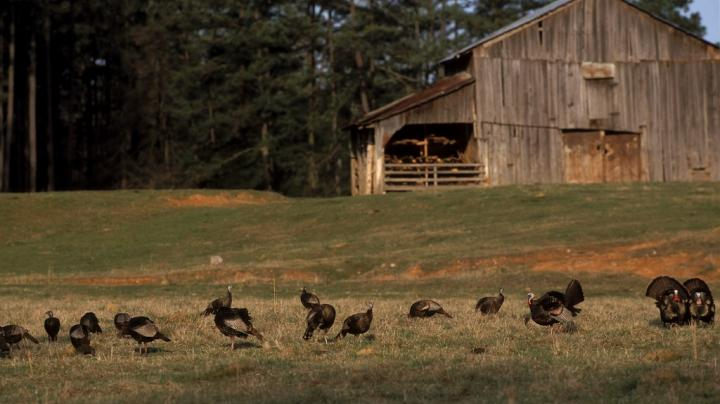 Henned-Up Turkey Hunting Tactics  Preview Image