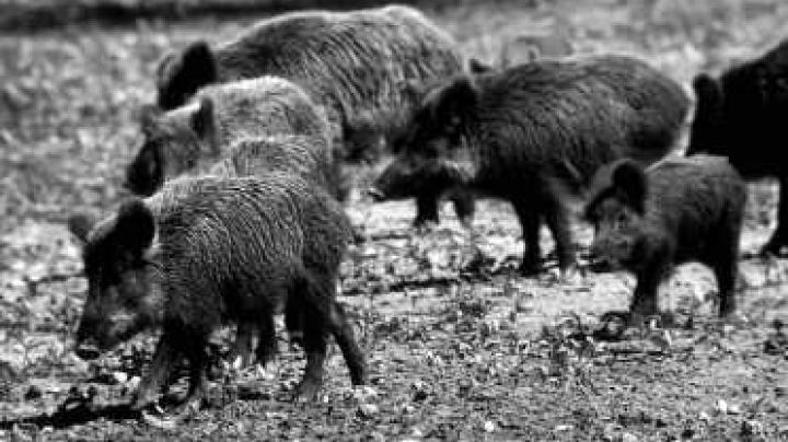 When pigs die -- it might be Earth Day in Guam Preview Image