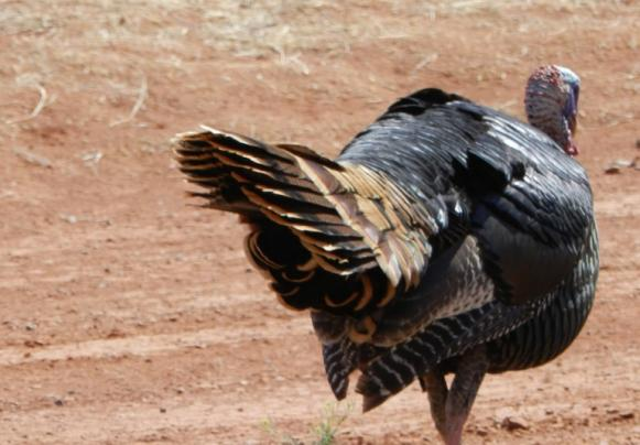Turkey Hunting: How to Find a Wounded Turkey Preview Image