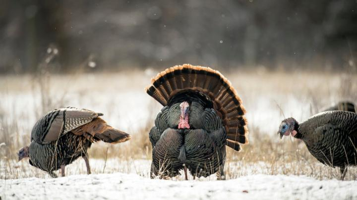 How to Hunt Early Season Turkeys Preview Image