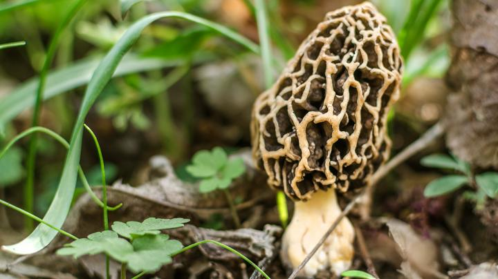 How to Hunt for Morel Mushrooms  Preview Image