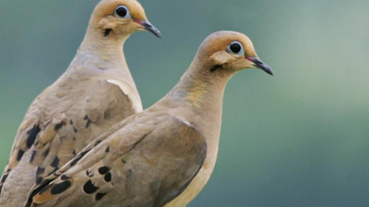 Good News / Bad News for Iowa Dove Season Preview Image