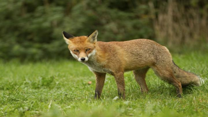 Fox Hunting at Night - Problem Pest Eradication Preview Image
