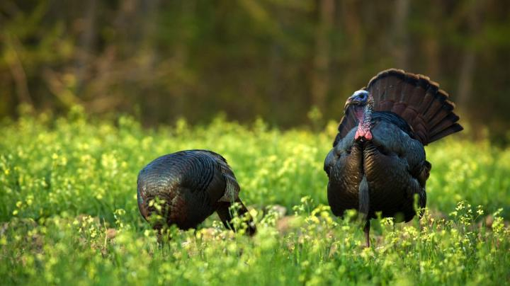 How and Where to Hunt Late Season Turkeys Preview Image