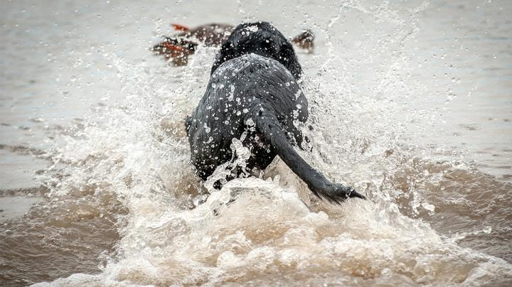 Weird Waterfowl Retrieves: How the Simple Becomes Memorable Preview Image