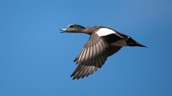 Duck Hunting in Louisiana Preview Image