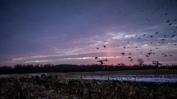 Tips for Late-Season Mallards Preview Image