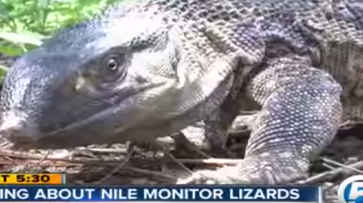 Nile Monitor Lizards Invade Palm Beach, Florida Preview Image