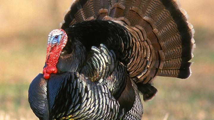 Loudmouthed to Shutmouthed Gobblers Preview Image