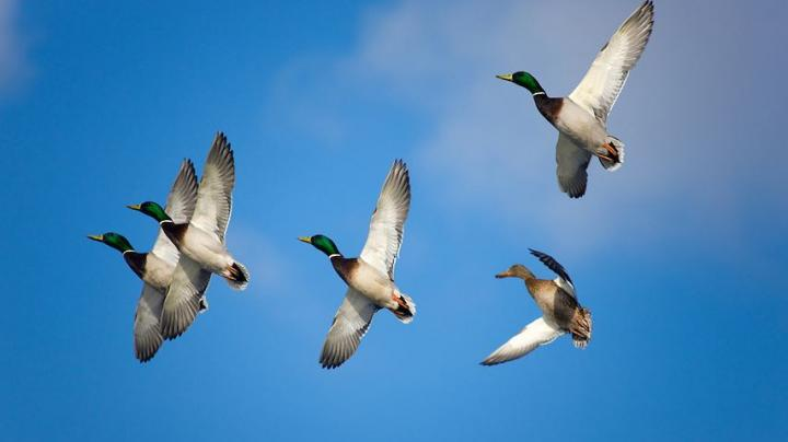 Cold Weather Finally Breathes Life Into Mississippi Flyway Season Preview Image