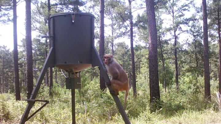 Image of Monkey Caught on Georgia Trail Camera Preview Image