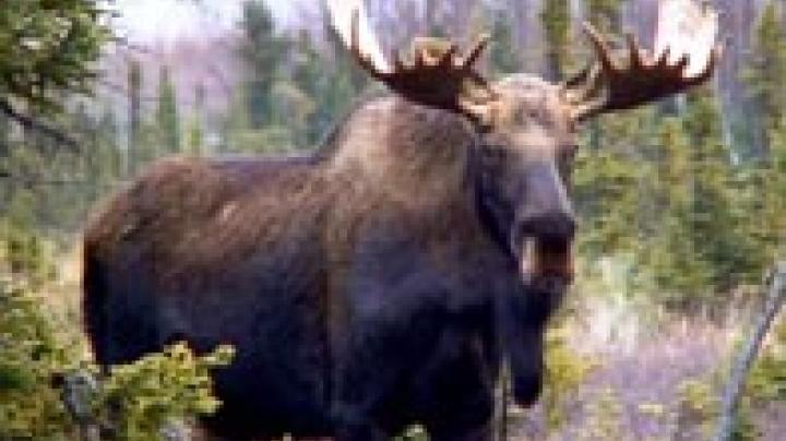 VT Moose Auction Closes June 21! Preview Image
