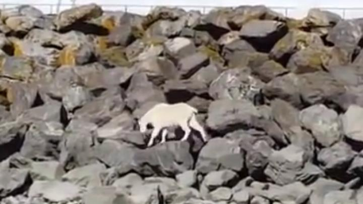Mountain Goat Drowns Trying to Escape Crowd with Cameras Preview Image