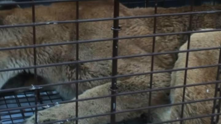 Sick Mountain Lion Euthanized After Killing Dog in Residential Area Preview Image