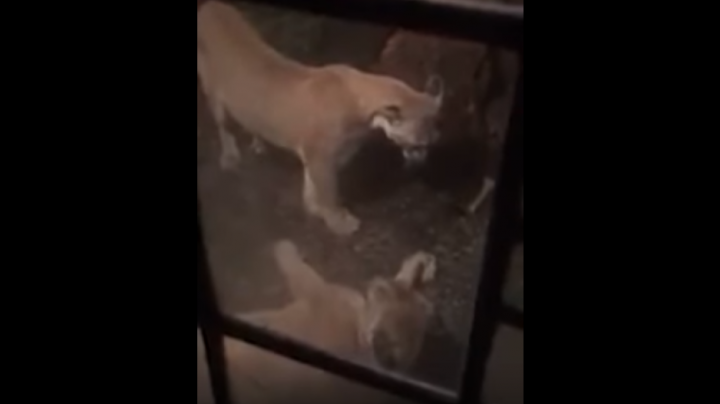 Mountain Lions Court Outside Couple's Bedroom Window Preview Image