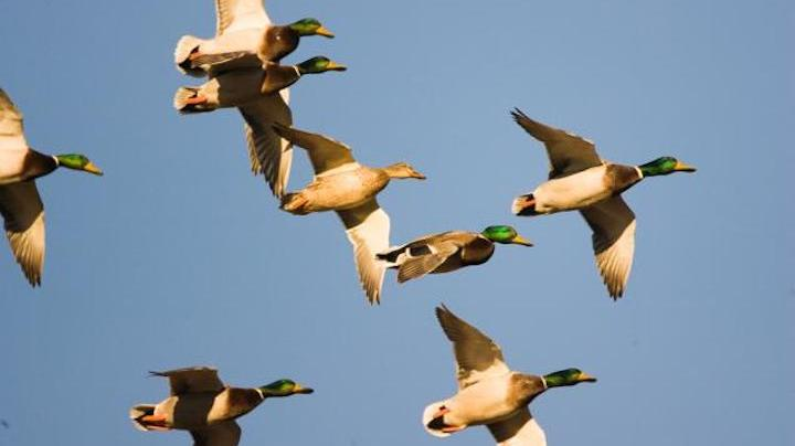 Upper Mississippi Flyway Report: October 22 Preview Image