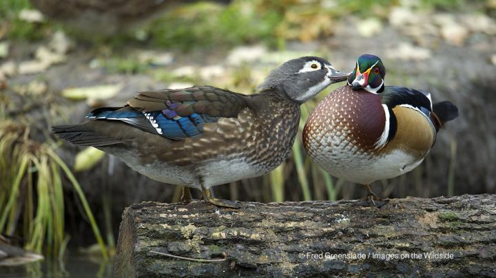 Warm Weather, Few Ducks Mean Tough Hunting in Southern Mississippi Flyway Preview Image