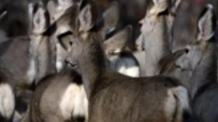 Scientists Discover Remarkable Mule Deer Migration Route Preview Image