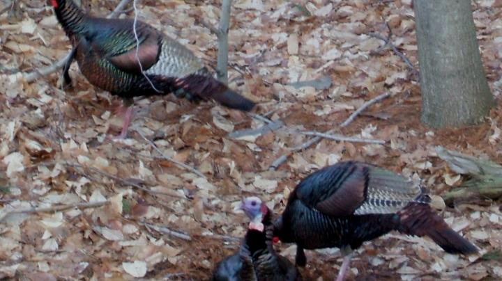 Vermont Spring Turkey Opener Preview Image