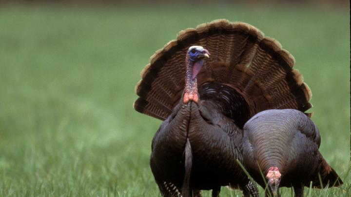 Preliminary Massachusetts 2009 Spring Turkey Harvest Preview Image