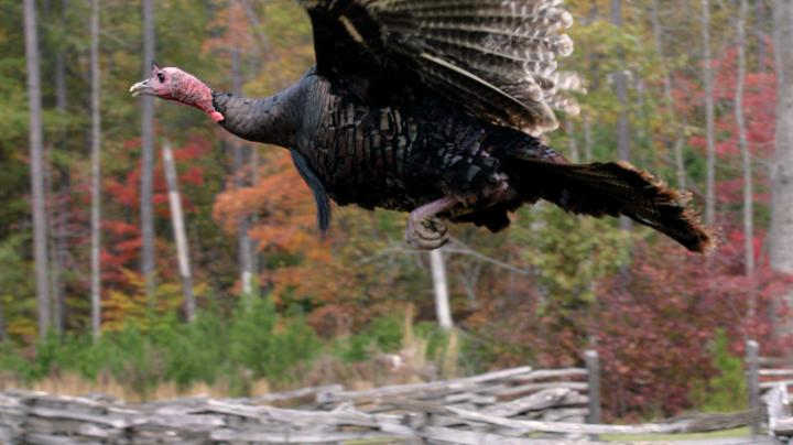Maine Fall Turkey Hunting Preview Image