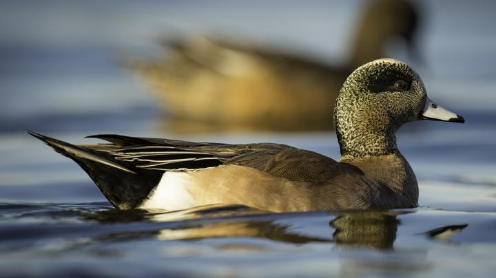 Duck Hunting in Oregon Preview Image
