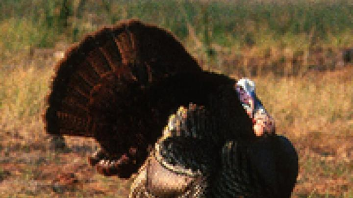 Toughest Turkey States Preview Image