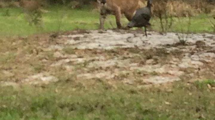 Florida Hunter Calls in Panther During Turkey Hunt Preview Image