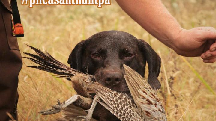 Pennsylvania Pheasant Hunting: More Birds This Season Preview Image