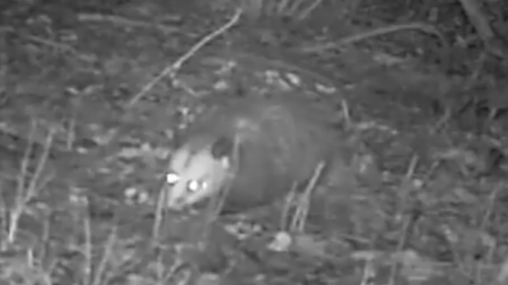 Did You Know Opossums Did This? Preview Image