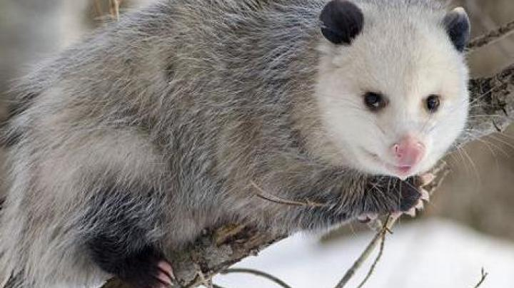 Say Goodbye to New Year's Eve Opossum Drop Celebration Preview Image