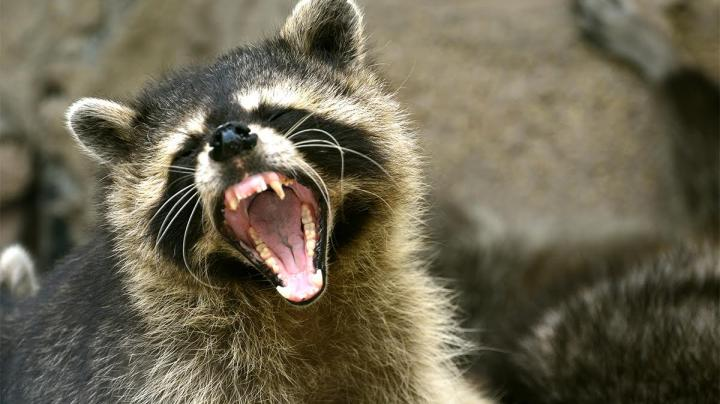 Maine Runner Drowns Rabid Raccoon With Her Bare Hands Preview Image