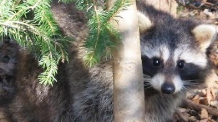 Raccoons Invade New York City Preview Image