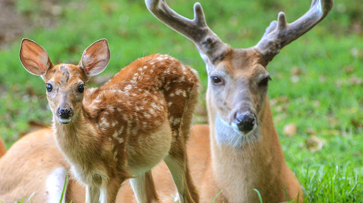 8 Myths About White-Tailed Deer Fawns Preview Image