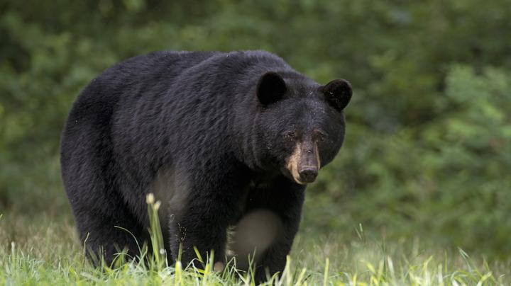 Top 10 States for Boone & Crockett Black Bear Hunting Preview Image