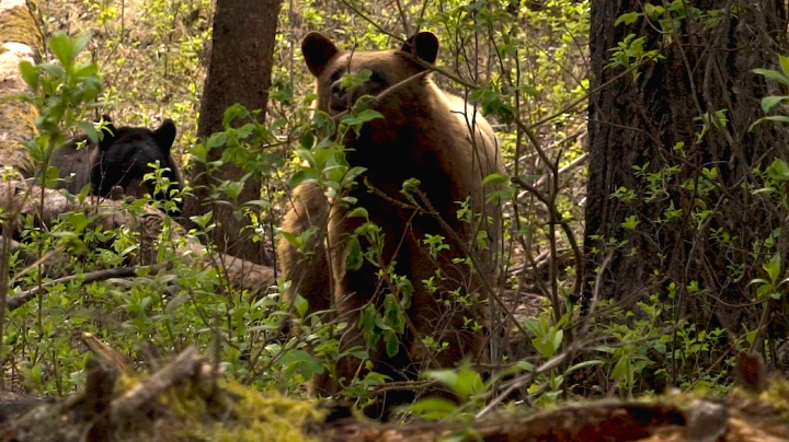 The Chronicles (Teaser): Alberta Bear Hunting with a Bow Preview Image