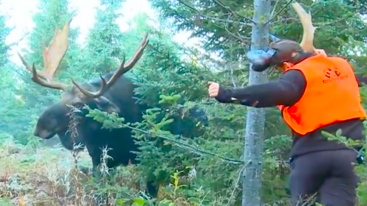 Moose Video: Crazy Moose Encounter Preview Image
