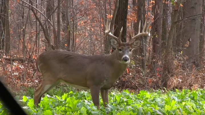 Giant Buck Hits Scrape at 20 Yards Preview Image