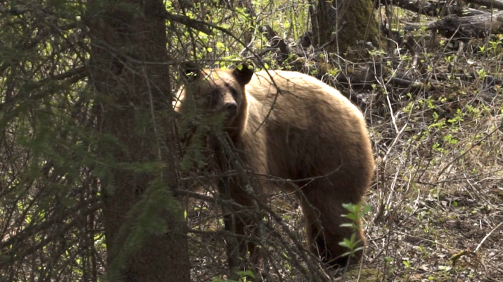 The Chronicles: Bowhunting Big Black Bears from the Ground Preview Image