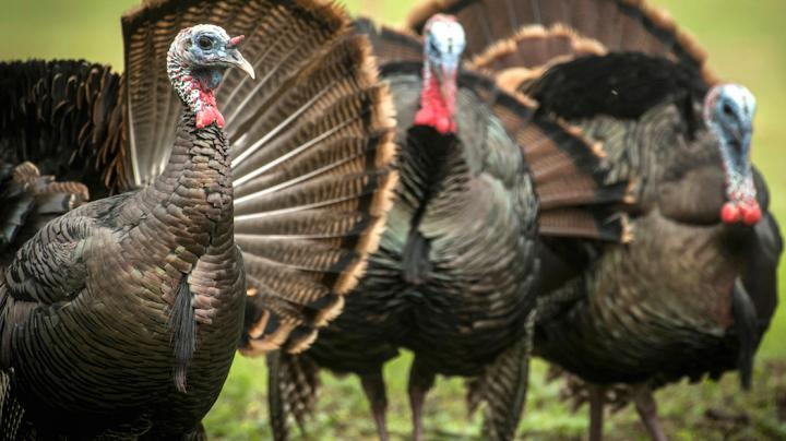 5 Tips to Kill More Turkeys on the Ground with a Bow Preview Image