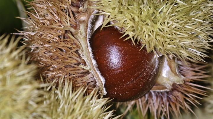 American Chestnut: The Favorite Deer Food from the Past Preview Image