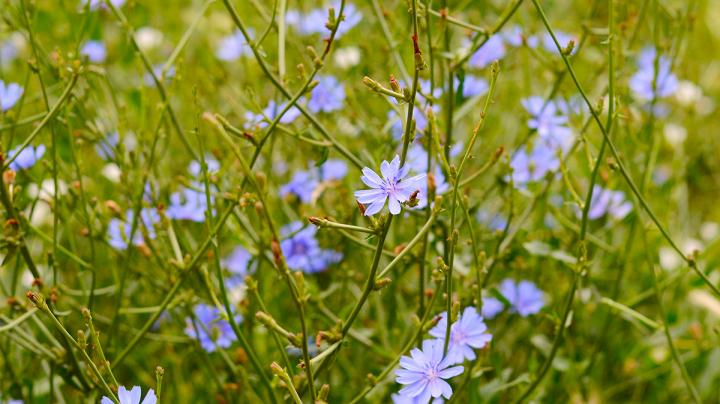 Food Plot Seed: How to Plant Chicory Preview Image