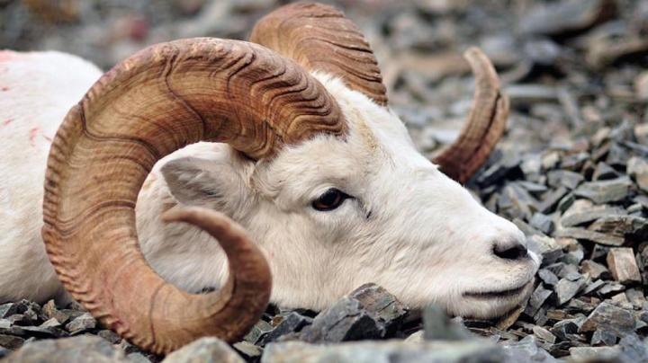 Hunting Dall Sheep in the Yukon Preview Image