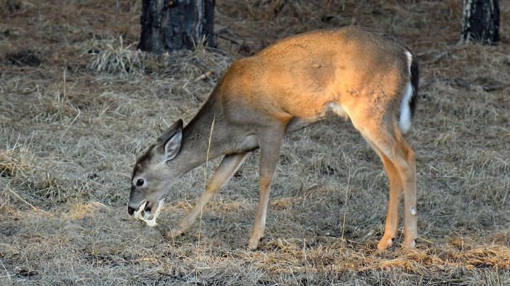 Must See: Whitetail Buck Chews on Pelvic Bone Preview Image