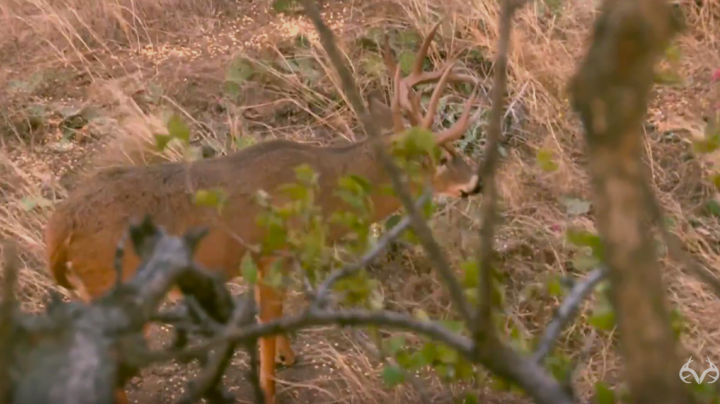 175-Inch Buck Makes Scrape Right Under the Tree Preview Image
