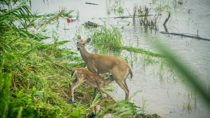 South Carolina Suspends Deer Season Due to Hurricane Florence Flood Waters Preview Image
